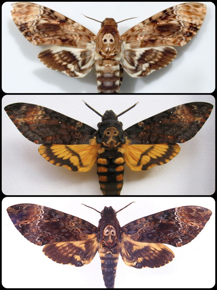 death head moths