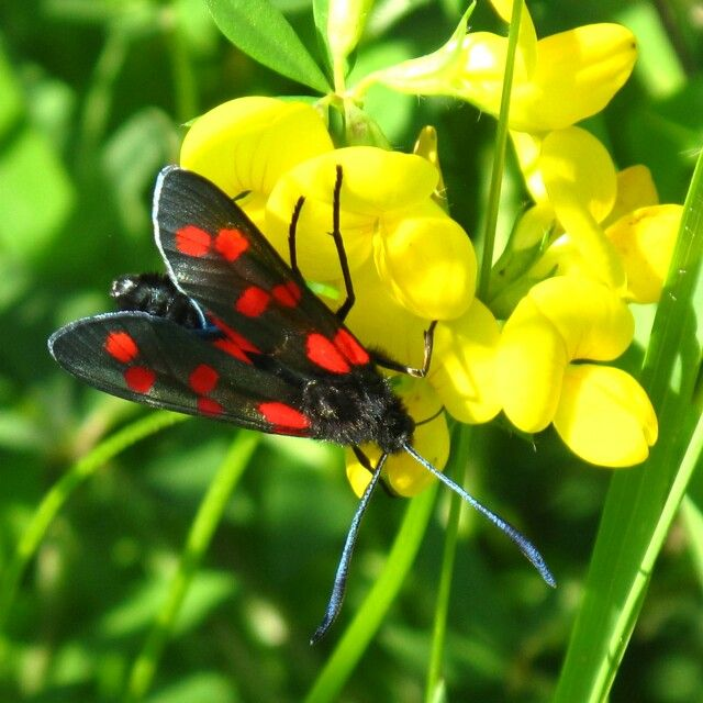 Beautiful picture.  You wouldn't want to touch either of them though.  Both the Burnet Moth and the Lotus Corniculatus plant produce toxic Cyanides.