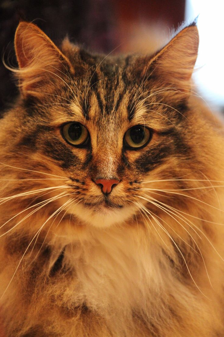 61 best Norwegian Forest Cat Breed images on Pinterest