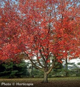Buy affordable Red Sunset Maple trees at arborday.org