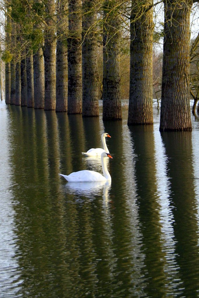 Swans; I would love to walk out my door and be here...what an enchanting place to view.
