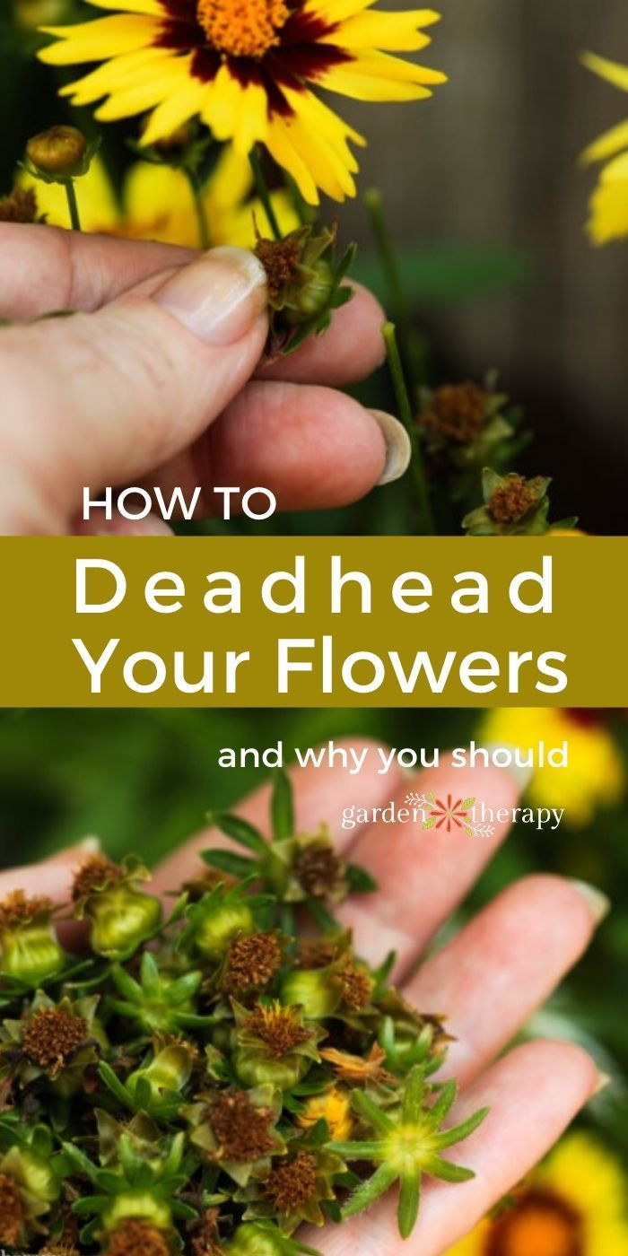 More Flowers Please Deadheading Flowers To Increase Blooming Garden Therapy In 2020 Gardening For Beginners Deadheading Flowers Garden Bloggers
