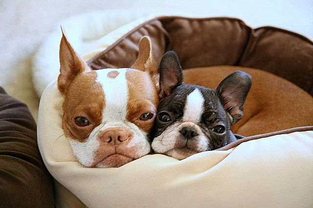 Awwww Boston terriers that look almost just like my two, Clover the red one and Ruby the black and white one.