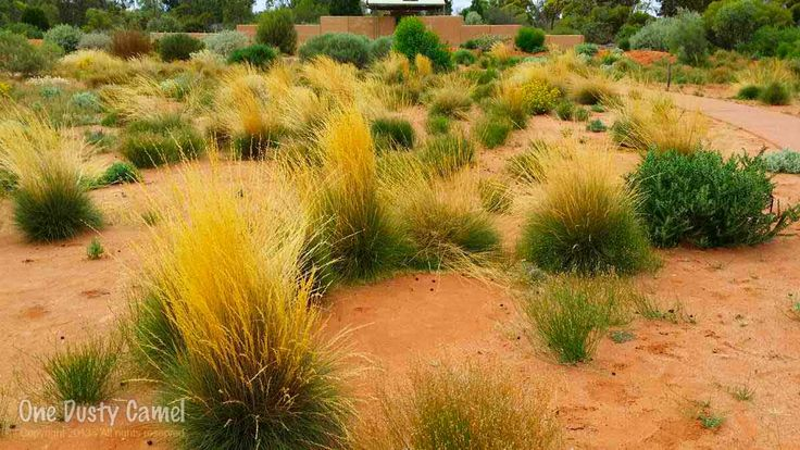 Woolly Spinifex in a mass planting