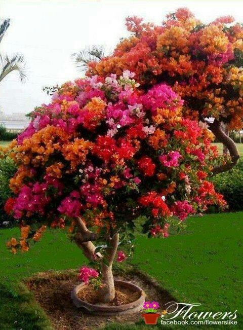Beautiful Tree For A Back Or Even Front Yard Ideas Pinterest Bougainvillea Plants And Garden