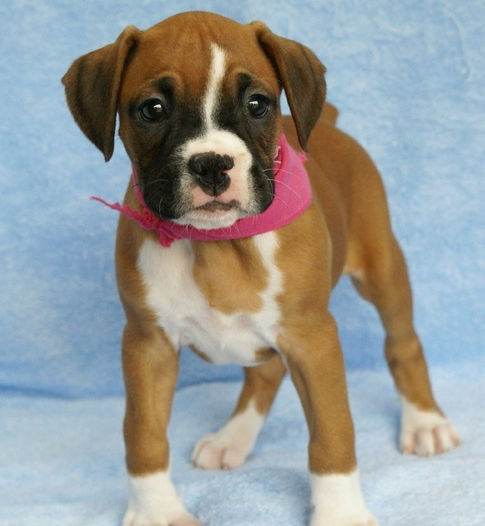 Boxer puppies Katie's board of course ) Pinterest