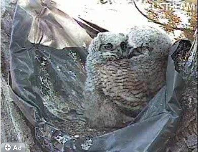 Cuddly owl babies.