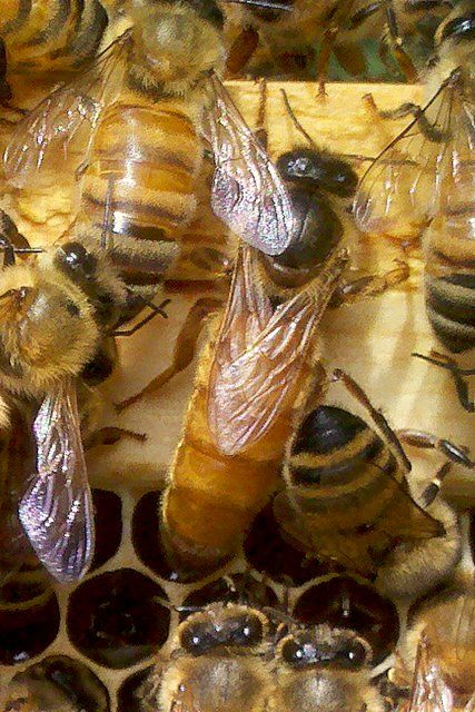 Beginner Queen Rearing---great website with lots of information.
