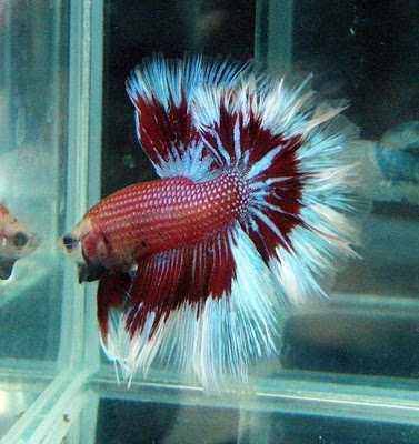 1000 images about bet it 39 s a betta fish on pinterest for Betta fish for sale at walmart