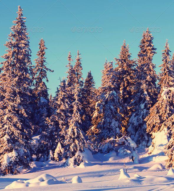 Snowy Pines Christmas Trees Long Beach