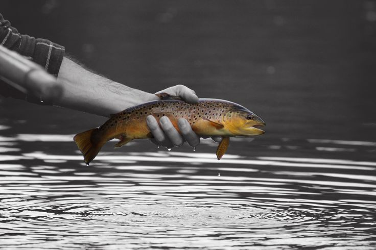 The beautiful Scottish wild Brown Trout