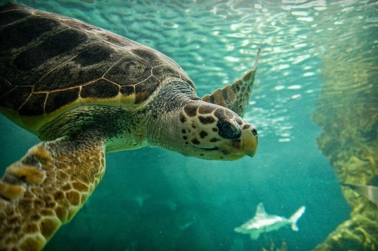 Turtle and shark swimming by David Cornejo  #tortuga #tortoise #tortue