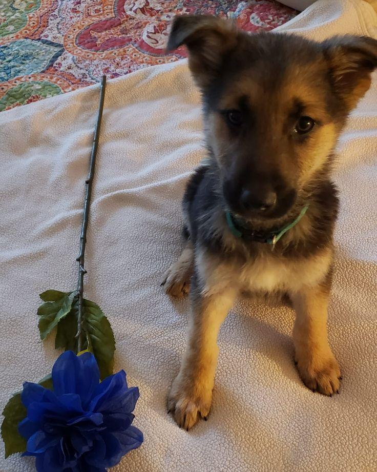 Green collar German Shepherd pup for sale at Dayton