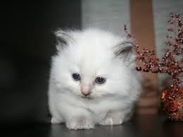 ragdoll-cat ,kočka