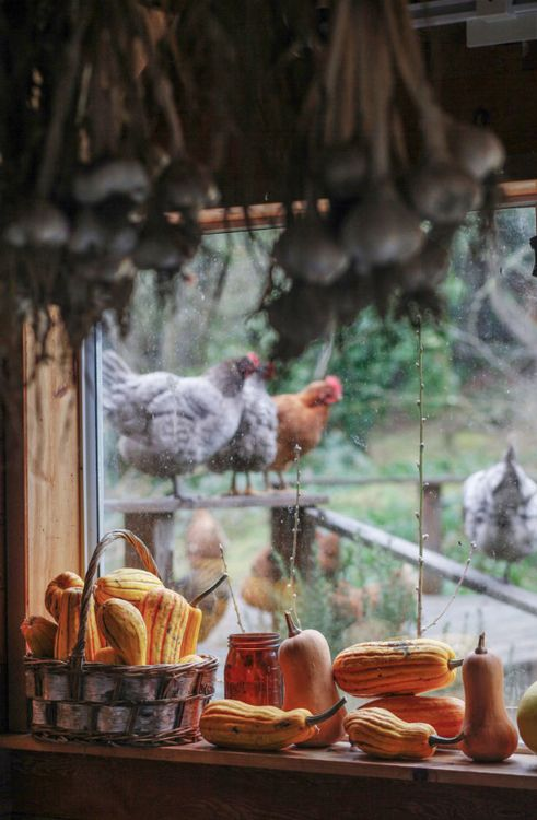Country Living, pumkins and chickens at the window :)