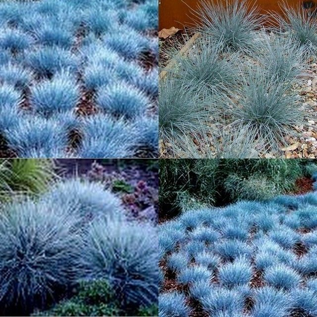 10 blue fescue grass dwarf festuca glauca garden plants for Small blue ornamental grass