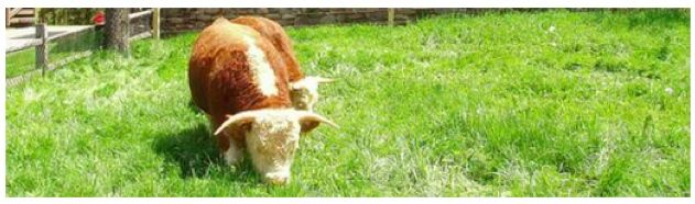 Big  Picture  Agriculture: 10 Miniature Cattle Breeds for Your Small Farm