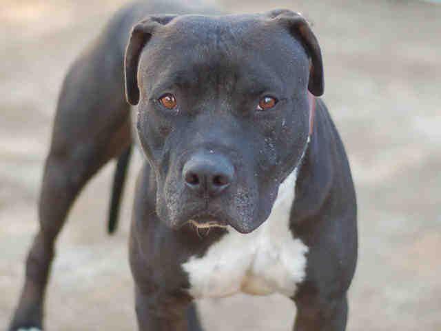 Adopt Mickey On Animal Shelter Animals Dogs