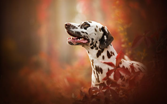 Download wallpapers Dalmatian Dog, dogs, autumn, cute animals, Dalmatian, Canis lupus familiaris