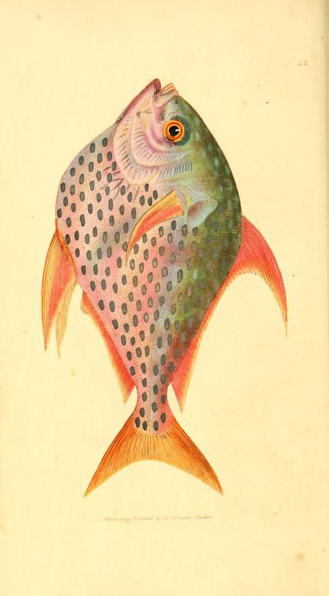 Fish illustration from The British Miscallany, 1806