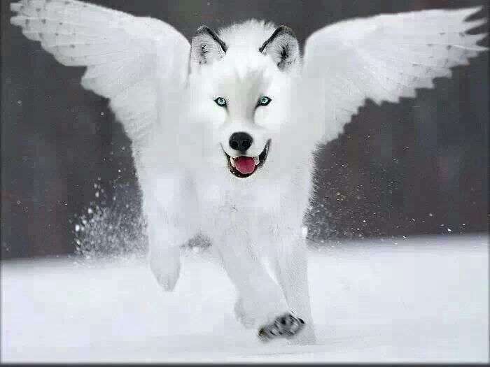 Gorgeous ♥ aa white angel wolf! | Wolves are amazing and ...