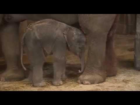 VTM Nachrichten aus Belgien hat diese lustige Szene eingefangen. Sieht man da doch ein Elefantenbaby, dass kurzerhand beschliesst ein Nickerchen zu machen, während es noch aufrecht steht. So fällt es auch prompt auf die Nase, bzw. auf den Hintern. Nach dem Sturz des Babys ist es aber um so schöner zu sehen, wie alle Erwachsenen [ ]