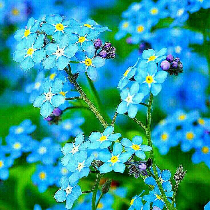 Pin Von Krystyna Szkilnik Auf Niezapominajka I Inne Podobne Vergissmeinnicht Blumen
