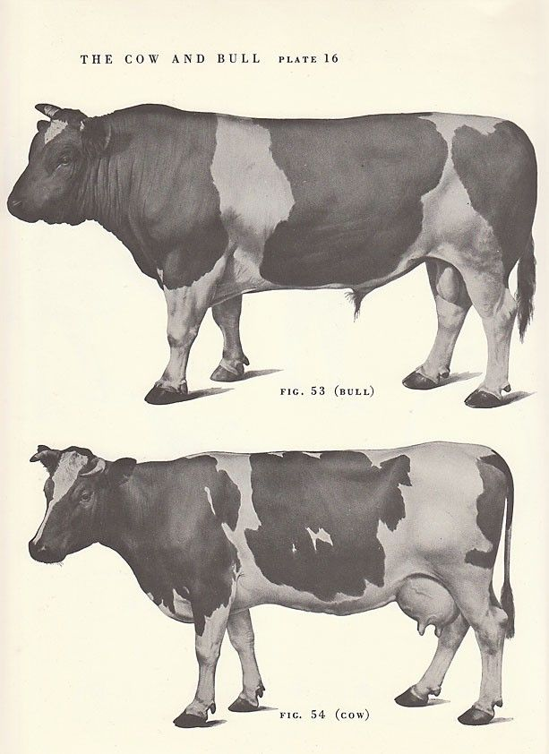 Vintage Cow and Bull Side View Illustration Book Page. $8.00, via Etsy.