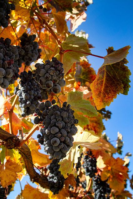 Grapes in the Fall Vineyard   Sierra Springs Photography, via Flickr