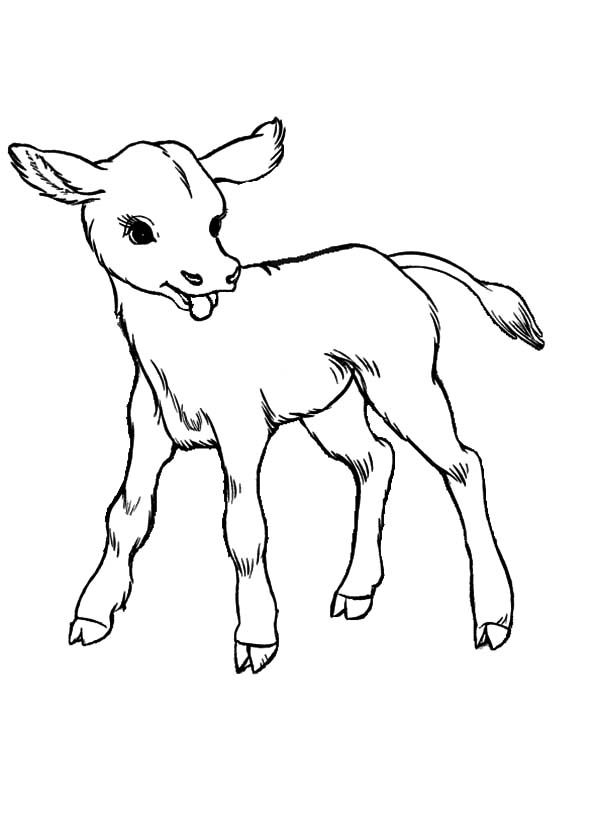 Cows Baby Cows Coloring Pages Cow Coloring Pages Baby Cows Animal Sketches Easy