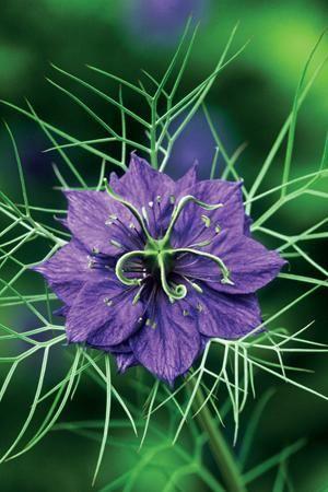 Love-in-a-mist - Nigella damascena 'Deep Blue'