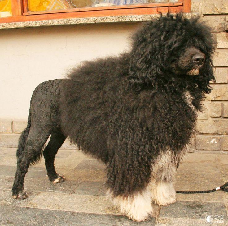 Португальская водяная собака кан ди агуа - Путешествуем вместе