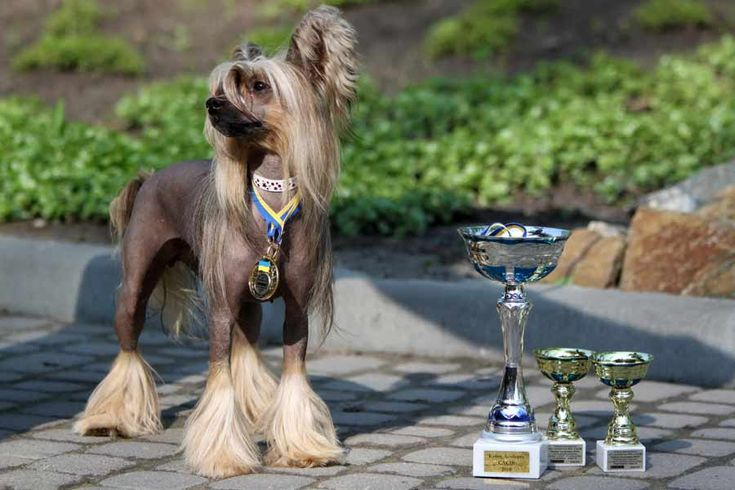 Chinese Crested Dog - Dog Breed Standards
