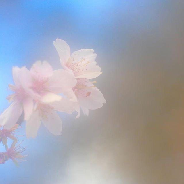 【akiran312】さんのInstagramをピンしています。 《* おはようございます ・ 今日はセンター試験を始め、いろんな試験がある日みたいですね ・ たくさんの人たちに桜が咲きますように🌸 ・ ガンバレ受験生!おつかれさまです、受験生を支える人たち! ・ #タクマーで繋がりたい #イマジンを切り取りたい #写真好きな人と繋がりたい #カメラ好きな人と繋がりたい #オールドレンズ #オールドレンズ部 #LUMIX#gx7mk2 #散歩#京都府立植物園 #京都#ふんわり #カメラ散歩 #桜#サクラ#さくら》
