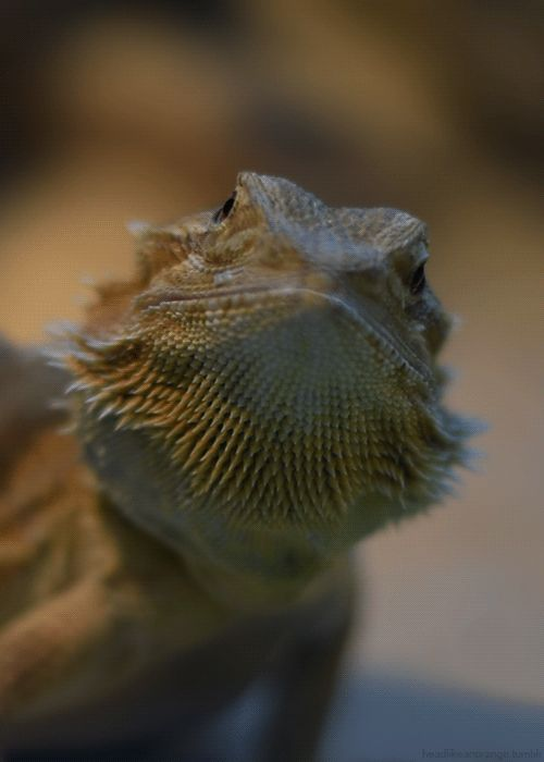 dragão barbudo Central