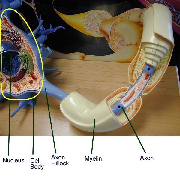 Neuron Model - Bing Images