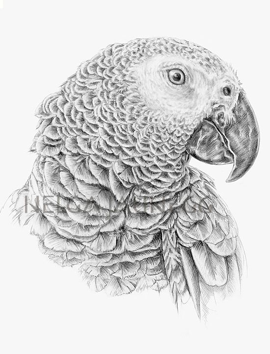 African Gray Parrot - Pencil drawing by Austrian Illustrator and Artist Helga Jaunegg. http://www.helgajaunegg.com