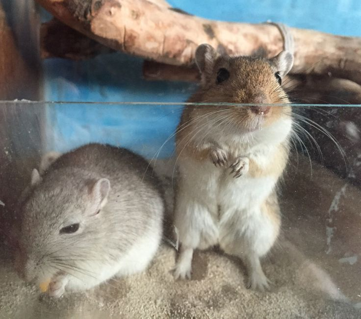 17 Best Images About Gerbil On Pinterest