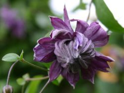 Clematis 'Mary Rose' - Clematis viticella 'Mary Rose'