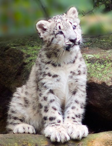 """""""Snow leopards are shy, elusive cats."""" Well, that just makes you cuter!"""