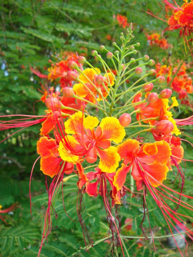 Caesalpinia pulcherrima  Dwarf Poinciana national flower of Barbados Fabaceae