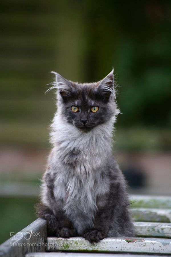 Beautiful black smoke maine coon kitten