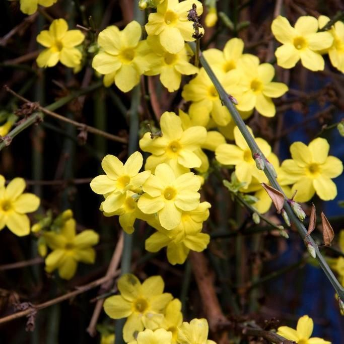 Jasmin d'hiver Jasmin d'hiver (Jasminum nudiflorum)