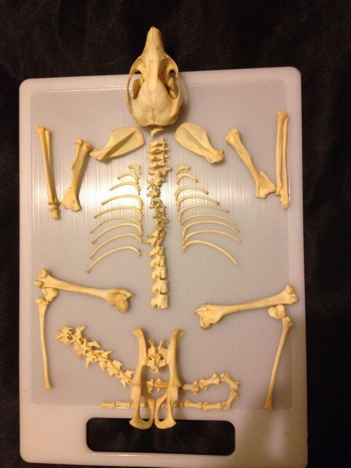 Bones skeleton possum