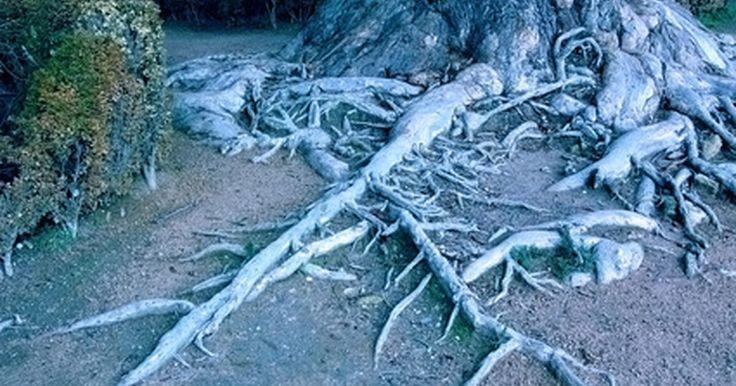 Sistema de raízes de árvores de carvalho. As árvores de carvalho têm um sistema de raiz de grande volume, por vezes ainda maior do que a parte de ramificações da árvore, que serve para estabilizar e alimentar a árvore. No entanto, as raízes podem ser facilmente danificadas ou sufocadas. Se você aprender a respeito do sistema da raiz de sua árvore de carvalho, poderá garantir que a raiz do ...