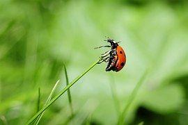 Mariquita, Insecto, Naturaleza, Prado