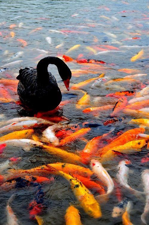 "A black swan & koi. ""Repinned by Keva xo""."