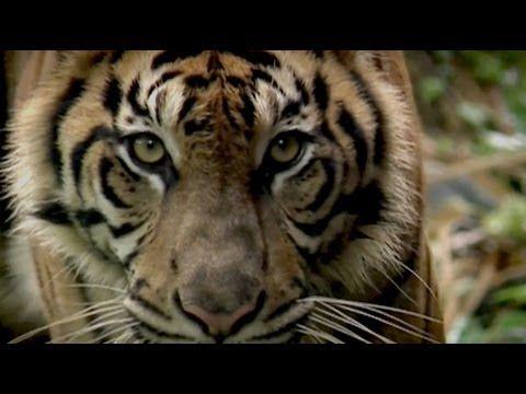 Dřevařský koncern APP likviduje domov vzácného tygra sumaterského! Nelegálně vytěžené dřevo z indonéských deštných pralesů končí ve výrobcích každodenní spotřeby, jako je papír do kopírek, papírové kapesníčky, zábavné časopisy či obaly elektrospotřebičů a potravin... Greenpeace přináší důkazy - podívejte se na video...