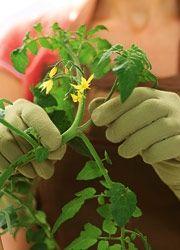 Tomaten pflanzen: Reiche Ernte aus dem eigenen Garten - BRIGITTE.de