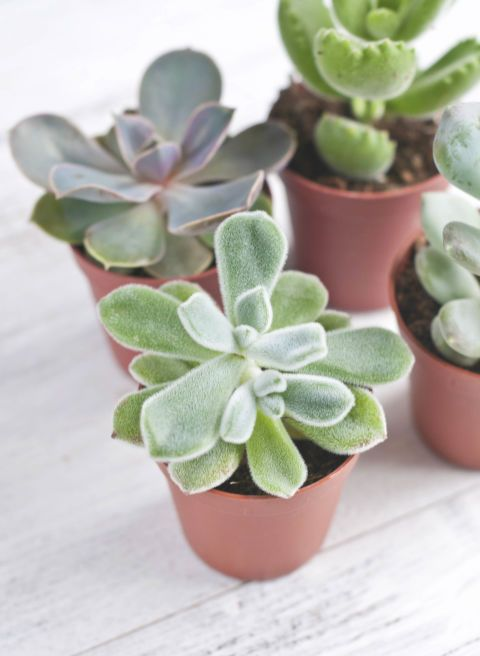These waxy plants actually store water in their thick leaves. Therefore they typically only require weekly waterings and enjoy sunlight and dry air.